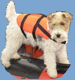 Arnie the dog, wearing a buoyancy aid